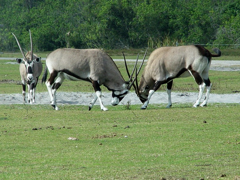"""The <b>Gemsbok</b> <i>(Oryx gazella)</i> is a type of Oryx. This African antelope is also called the Southern Oryx and the """"Spirit of the Desert."""" Originally, various oryx species were found in all of Africa's arid regions. One species that occurred on the Arabian Peninsula was exterminated recently but has now been reintroduced into the wild from captive stock. Long, straight horns are present in both males and females, but injuries from fighting are rare. Well adapted to the conditions of their hot, arid habitats, oryx can live as long as 20 years. The Gemsbok has adapted to many areas that most large mammals are unable to live in.  The Gemsbok prefers the arid and semi-arid open grassland, scrub and light open woodland.  They are extremely acclimated for desert and semi-desert life and are experts at conserving water and can go long periods of time without drinking."""