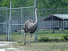 The <b>Ostrich</b> <i>(Struthio camelus)</i> [this is a female] is the largest and heaviest living bird. It is a flightless bird that can never take to the skies, so instead it's built for running. It's long, thick, and powerful legs can cover great distances without much effort, and its feet have only two toes for greater speed.  Ostriches can sprint in short bursts up to 43 miles per hour, and they can maintain a steady speed of 31 miles per hour. Just one of an ostrich's strides can be 10 to 16 feet long; that's longer than many rooms! <br> <br> Adult males, which can weigh as much as 350 lbs. and can grow to eight feet tall, are distinguished by their black feathers. Females and immature male Ostriches have dull gray feathers. Ostriches do well in captivity and may live up to 50 years both in and out of the wild. If cornered, they can deliver a powerful blow with their legs.  They have a 4-inch claw on each foot, and their kick is powerful enough to kill a lion. Ostriches hold their wings out to help them balance when they run, especially if they suddenly change direction. The main use for the wings, though, is for displays and courtship, along with the tail feathers.