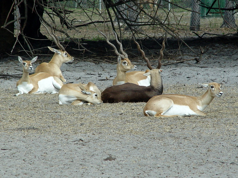 <b>Blackbuck Antelope</b> <i>(Antilope cervicapra)</i> - Standing just two-and-a-half feet tall, this species of Indian antelope gets its name from the dark color of the mature male (which is known as a buck). <br> <br> Females and immature males are lighter in color. The male's straight, ringed horns twist 3 or 4 times and are about 2 feet long. If danger approaches, Blackbucks will spring up into the air -- a behavior called pronking -- to alert the rest of the herd.<br> <br> Blackbucks are gregarious and social animals with herds generally ranging from 5 to 50 animals. The herds are harems, with a single adult male and a number of adult females and their young. Blackbuck Antelope are among the fastest animals on earth and can out run almost any other animal over long distances. They can run almost 50 miles per hour when necessary.