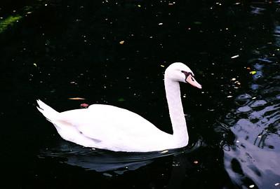 SW Swan 01