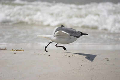 Laughing Gull, Running