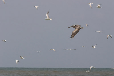 Brown Pelican and Terns