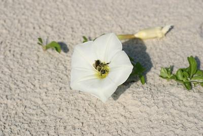 Bee and Beach Morning Glory