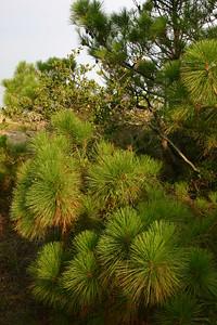 Sand Pines