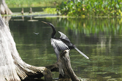 Anhinga and Dragonfly