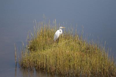 Egret, St Marks National Wildlife Reserve