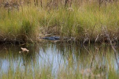 Alligator, St Marks National Wildlife Reserve