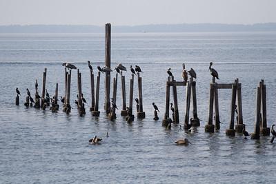 Pelicans, St Marks National Wildlife Reserve