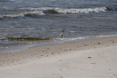 Birds of Cape San Blas