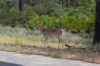 Roadside Deer