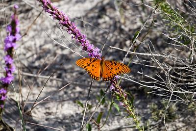 Butterflies at Cape San Blas