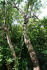 <b>Poisonwood</b> <i>(Metopium toxiferum)</i> [also known as Florida Poison Tree] - This member of the cashew family gets its name and reputation from the black sap (seen in next photo) which stains its orange, peeling trunk. The sap can cause a nasty rash similar to poison ivy if contacted. The fruit is a vital food for the White-crowned Pigeon, an <b><i>endangered</b></i> species.