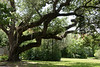 <b>Live Oak</b> <i>(Quercus virginiana)</i>,  <b>Resurrection Fern</b> <i>(Polypodium polypodioides)</i>, <b>Spanish Moss</b> <i>(Tillandsia usneoides)</i> - This tree lives to be one of the oldest and most sturdy of Florida's trees.  Although it may grow slower than other trees, it is better able to withstand hurricane winds, fires, droughts, and floods than other hardwoods.  In the days of sailing ships, the large arching limbs were highly sought after for making ship ribs and knees.  Today, these trees furnish shade and beauty for millions of park visitors throughout Florida.<br> <br> If you look closely, you can see what might appear to be leaves growing on top of the huge limbs.  That is <b>Resurrection Fern</b> <i>(Polypodium polypodioides)</i>, an air plant. The Resurrection Fern gets its name because it can survive long periods of drought by curling up and appearing dead. When just a little water is present, the fern will uncurl and reopen, appearing to resurrect. This tiny plant has even been taken on a space shuttle mission to watch it resurrect itself in space!<br> <br> <b>Spanish Moss</b> is another air plant, which hangs in weeping garlands, giving the tree a striking appearance.