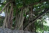 <b>Banyan</b> <i>(Ficus benghalensis)</i> - <b>Old Cutler Road - Coral Gables</b> - On the way to The Barnacle Historic Sate Park . . . <br> <br> Also known as Bengal Fig, Indian fig, East Indian Fig, Indian Banyan or simply Banyan, it is a species endemic to Bangladesh, India and Sri Lanka. Older banyan trees are characterized by their aerial prop roots which grow into thick woody trunks which, with age, can become indistinguishable from the main trunk. Old trees can spread out laterally using these prop roots to cover a wide area.  [B]