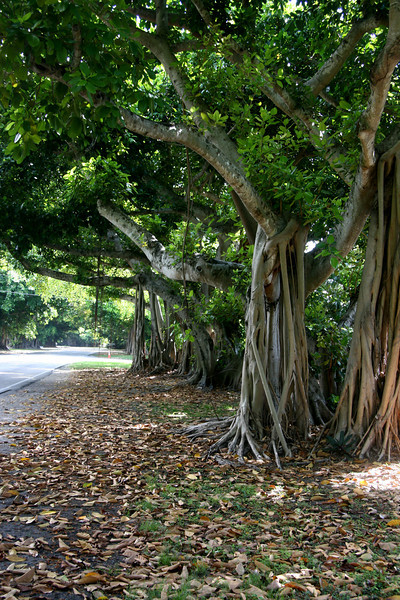 Beautiful Banyan on Old Cutler Road - Coral Gables