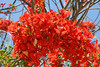 <b>Royal Poinciana</b> <i>(Delonix regia)</i> is a species of flowering plant. It is noted for its fern-like leaves and flamboyant display of flowers. In many tropical parts of the world it is grown as an ornamental tree, and in English, it is given the name Royal Poinciana or Flamboyant. It is also one of several trees known as Flame tree.