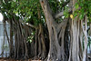 <b>Banyan</b> <i>(Ficus benghalensis)</i> - Also known as Bengal Fig, Indian fig, East Indian Fig, Indian Banyan or simply Banyan, it is a species endemic to Bangladesh, India and Sri Lanka. Older banyan trees are characterized by their aerial prop roots which grow into thick woody trunks which, with age, can become indistinguishable from the main trunk. Old trees can spread out laterally using these prop roots to cover a wide area.