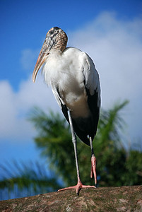 Endangered Wood Stork – a large tropical bird, the Wood Stork is only stork that presently breeds in North America. Its habitat is among cypress and mangrove trees and in swamps. Protected breeding grounds are found in and around the Everglades in South Florida.