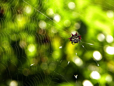 Star Spider – also known as crab spider and seen throughout South Florida. This guy showed up right after an afternoon shower, just as the sun light returned.