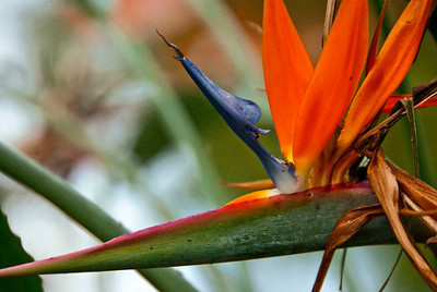 The Bird of Paradise is a popular as an ornamental plant. It grows well in any area that is sunny and warm, such as, in the United States, Florida and California. t is propagated by division or from seeds, and is a low-maintenance plant that is easy to grow in the garden; it is fairly tolerant of soil conditions and needs little water once established.