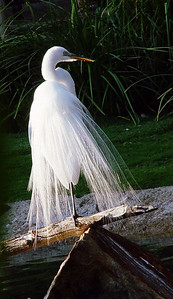 """Snowy Egret adults are typically 24 inches long and weigh about 13.2 oz. They have a slim black bill and long black legs with yellow feet. The area of the upper bill, in front of the eyes, is yellow but turns red during the breeding season, when the adults also gain light, lacy plumes on the back, making for a """"shaggy"""" effect. The juvenile looks similar to the adult, but the base of the bill is paler, and a green or yellow line runs down the back of the legs."""