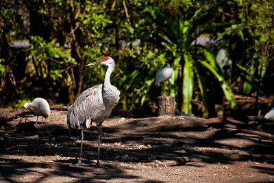The Florida Sandhill Crane can be seen in residential yards, foraging for food. These birds seem  to be little afraid of humans. They eat shelled corn and commercially purchased bird seed from the ground and from feeders. They may be seen in yards in Florida year-round, often in pairs that may be accompanied by a juvenile.