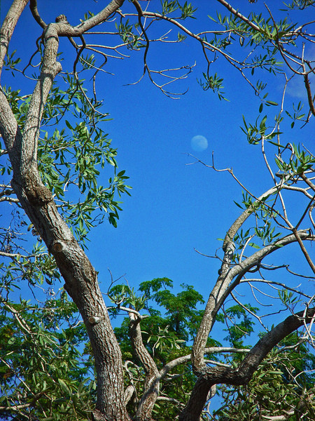 Late afternoon, looking through the branches of a mangrove tree, the nearly full moon is clearly visible.