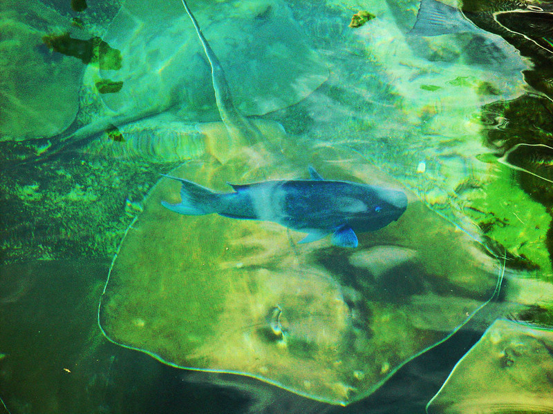 Various types of rays are common in coastal tropical and subtropical marine waters throughout the world, They typically live in harmony with other fish species.