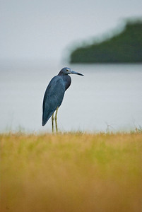 Little Blue Heron – is distinguished by its intense blue plumage, sharp blue bill and intense yellow eyes. It stands about two and a half feet high, which distinguishes it from its four–to-five-feet tall cousin, the Great Blue Heron. Both are shallow water wading birds.
