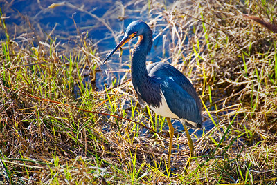 I stayed with this Tricolored Heron for about an hour one afternoon as it leapt from the sloped bank into the shallow water over and over, catching and eating small fish. The colors of the fish and bird are strikingly similar.