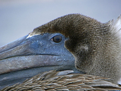 Young Brown Pelican – This lone common brown pelican landed on a peer on Key West during a cold morning last January. We studied each other carefully for about 15 minutes. The bird never moved the whole time I photographed it, but it also kept its eye on me the whole time.