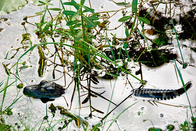 """Baby Alligator – adult female alligators produce dozens of newly hatched baby alligators each year. The survival rate is low because of the many possible hazards, the largest of which is that they are food to older alligators. Adult females keep their surviving offspring close for three years, at which time they are strongly encouraged to """"leave home"""" because of the danger they pose to their younger nest mates. When you see a young alligator seemingly along, you can be sure that the adult female is not far away. It is best to leave the young one undisturbed."""