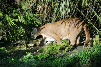 Endangered Florida Panther – stealth, steady, rarely seen in the wild, the Florida panther numbers are down to about 50 adults with low offspring survival rates. Fast moving vehicles on Alligator Alley (Interstate l75) and the Tamiami Trail (US Highway 41), is the leading cause of death for this beautiful big cat.