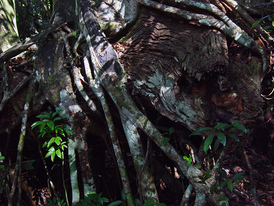 Strangler fig roots wrap around a fallen live oak tree.