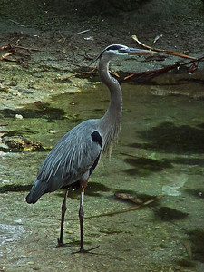 The Great Blue Heron is a large wading bird in the heron family and common near the shores of open water and in wetlands over most of North  and Central America as well as the West Indies and the Galápagos Islands.