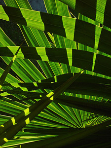 There are roughly 202 currently known genera with around 2600 species of palm trees, most of which are located in tropical, subtropical, and warm temperate climates.