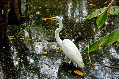 Great White Egret – typically shy, this bird is almost never this calm at such close range. I was fortunate to catch this bird while it was distracted with listening for sounds of fish within range.