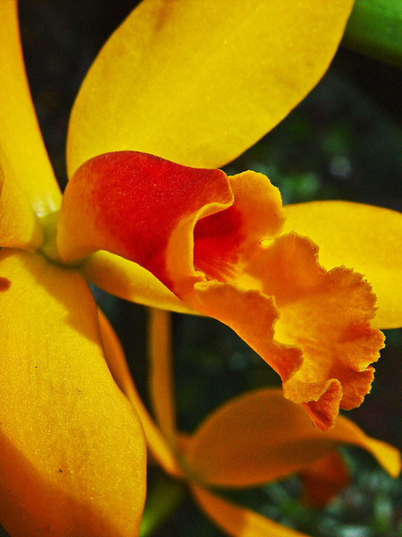 Yellow and red Cattleya orchid.
