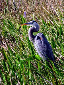 Great Blue Heron waits and watches intently for a possible fish catch while staying partially hidden in the tall grasses in shallow water.