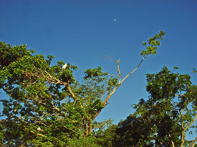 Another late afternoon with clear blue sky with a clear view of the half moon over the mangrove trees with white ibises.