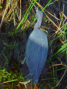 Little Blue Heron searches for food while wading in shallow water.