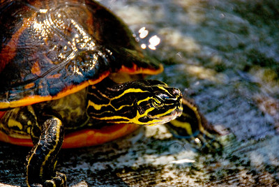 Red Bellied Cooter – one of the many species of turtle found in South Florida.
