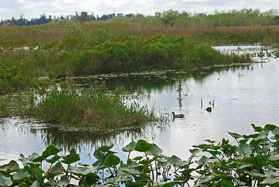 In total, the Loxahatchee National Wildlife Refuge includes 145,800 acres of northern Everglades habitat. The refuge contains one of three water conservation areas (WCA's) in south Florida and is maintained to provide water storage and flood control, as well as habitat for native fish and wildlife populations.
