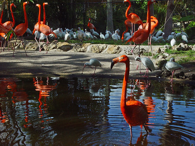 The Caribbean Flamingo is bright vermilion in color as opposed to its paler, pink cousins. The adult Flamingo stands anywhere from 43 to 51 inches, has a wing span of about 59 inches, and weighs up to 7.7 lbs.