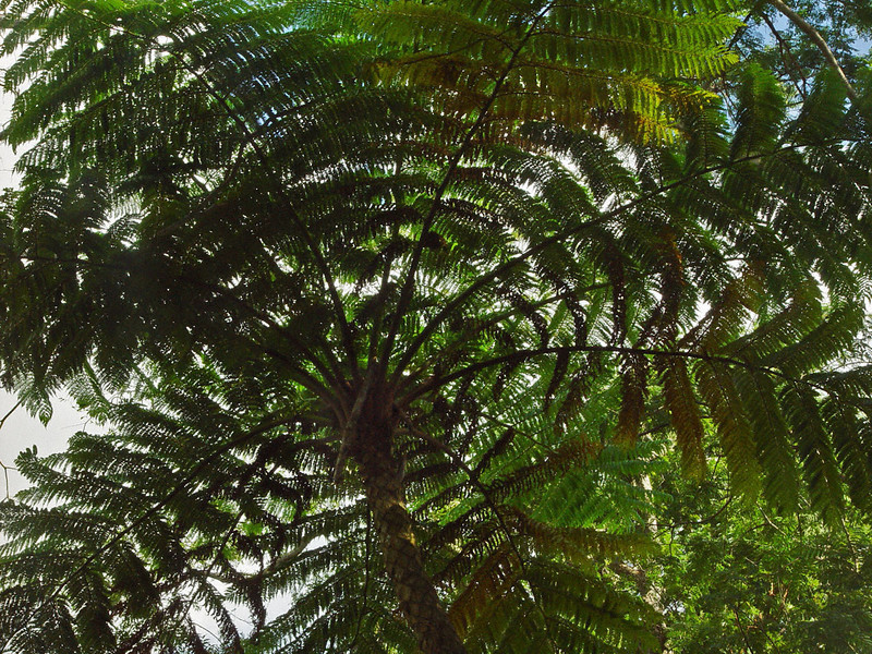 Looking straight up into a coconut palm is a little dizzying. It appears as if the branches and leaves are twirling.