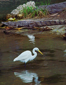 The Great White Egret is a large, wading bird that lives in most of the tropical and warmer temperate regions of the world, It is distinguished by its white feathers, long yellow bill and black legs. The American Crocodile is an endangered species found in brackish waters along the Southern coast of Florida.