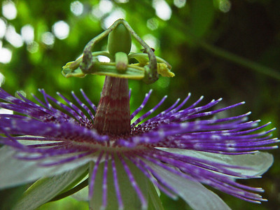 Passionflower is the most speciose genus of both the family Passifloraceae and the tribe Passifloreae. With over 530 species and an extensive hierarchy of infrageneric ranks, passion flowers, and especially passion fruit, are frequently used withsexual or romantic allusion, giving rise to to the phrase Purple Passion.