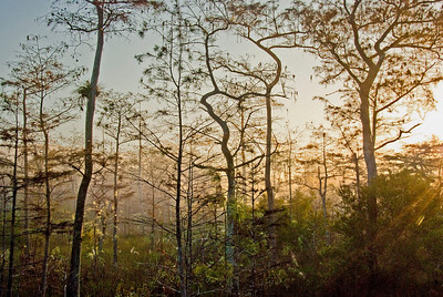 Cypress Trees, Early Morning – the best times of day to photograph unusual light and to catch the animals at their liveliest is early morning and at dusk. The color of the light while the sun is climbing in the sky is warm and inviting.