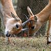 Oribi Antelope