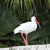 Florida Chicken (White Ibis)
